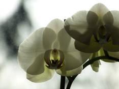 #75 SERIE Flora