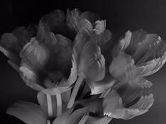#46 SERIE Flora