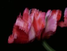 Serie PhotoPainting Flower