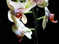 #56 SERIE Flora