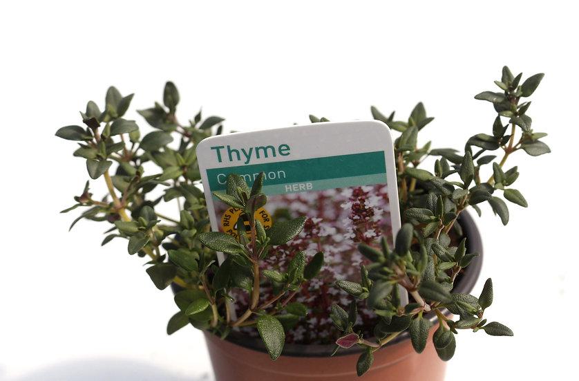 Common Thyme