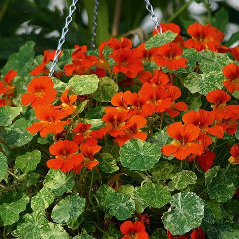 Nasturtium Orange Troika