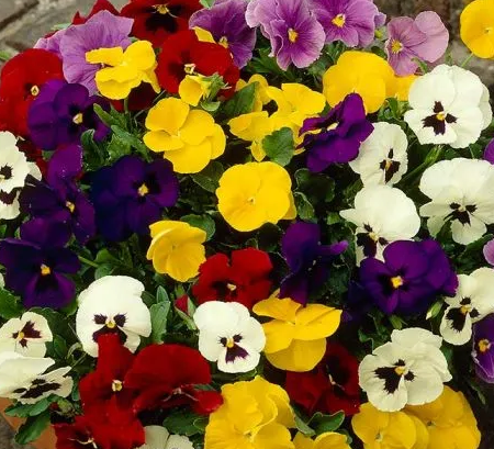 Pansy Winter/Spring mix 6 Cell