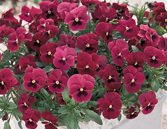 Viola Rose W/Blotch 6 Cell Tray