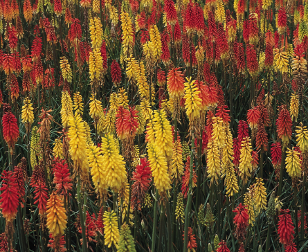 "Kniphofia ""Crown Hybrids"" Mixed"