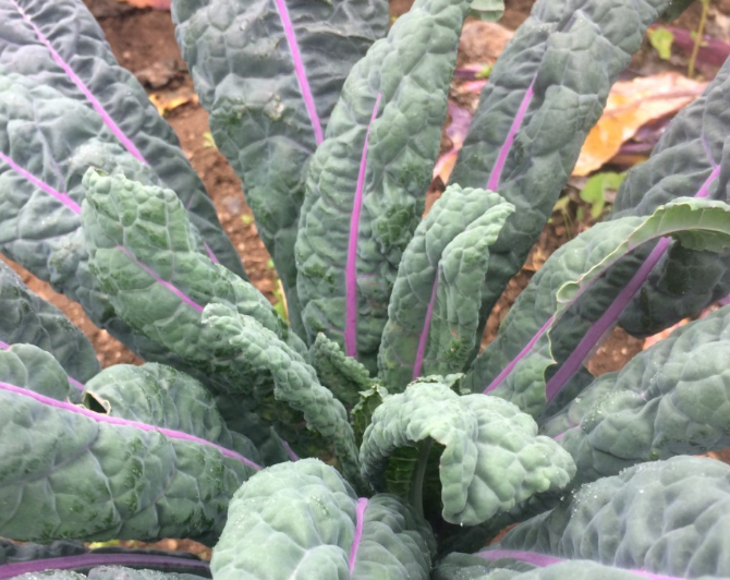 "Kale ""Dazzling Blue"" (Organic) 6 Cell"