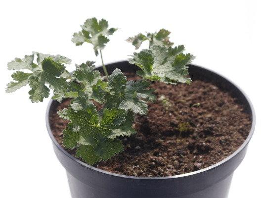 Geranium × magnificum 'Rosemoor'