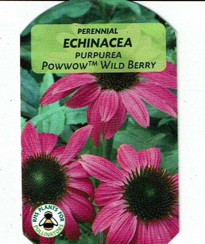 "Echinacea ""Wild Berry"""