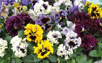 Pansy Frizzle Sizzle Mixed 6 Cell