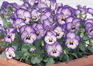 Viola Icy Blue 6 Cell Tray