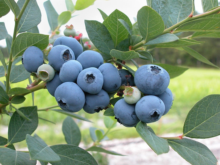 Blueberry Bush Blue Crop