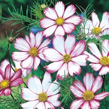Cosmos Candy Stripe