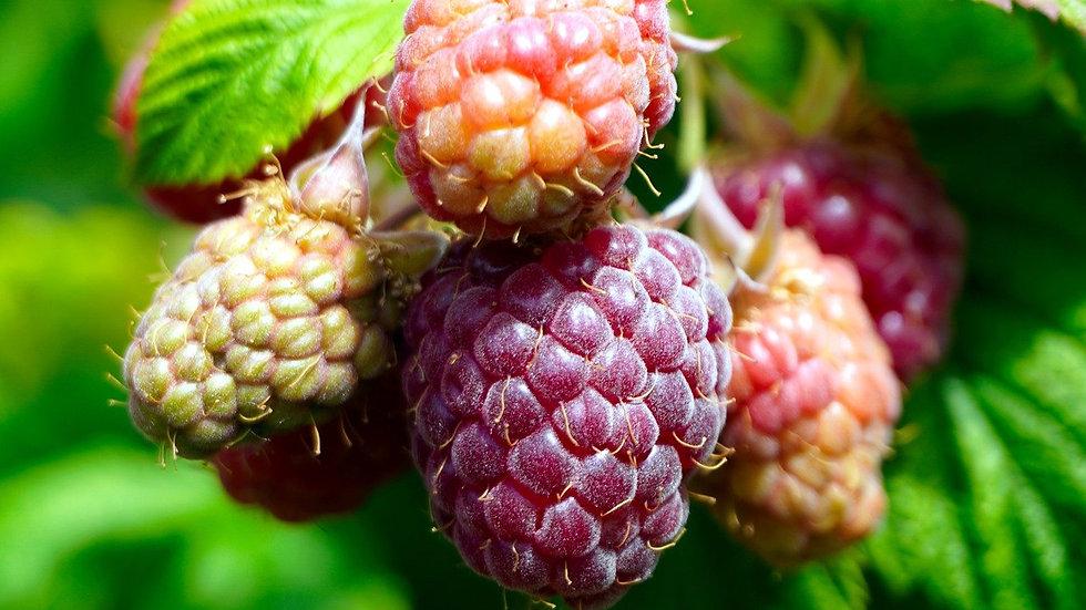 Raspberry bare root x12