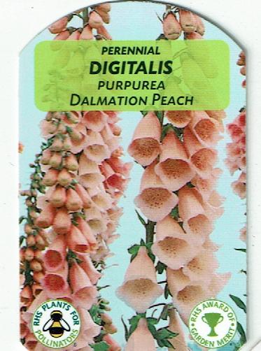 Digitalis - Dalmation Peach