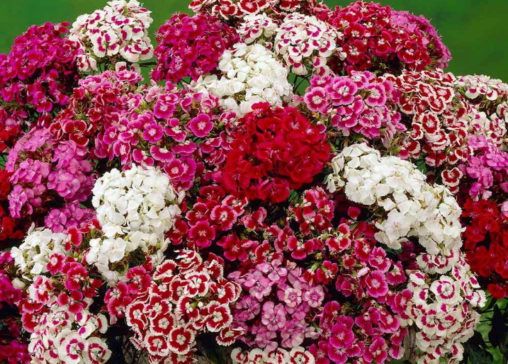 Sweet William Messenger Mix 6 Cell