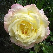 Rose Mixed