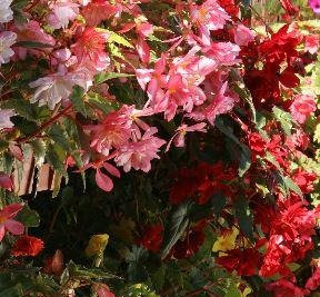Begonia Chanson Mix