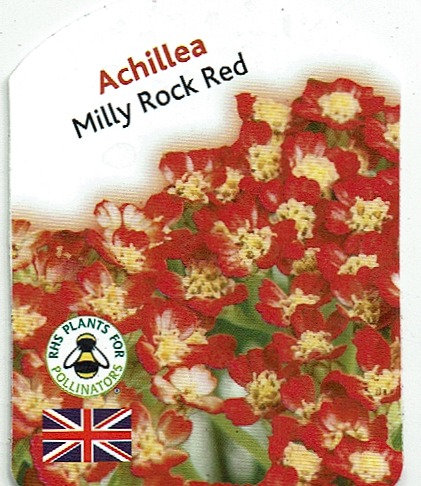"Achillea ""Milly Rock Red"""