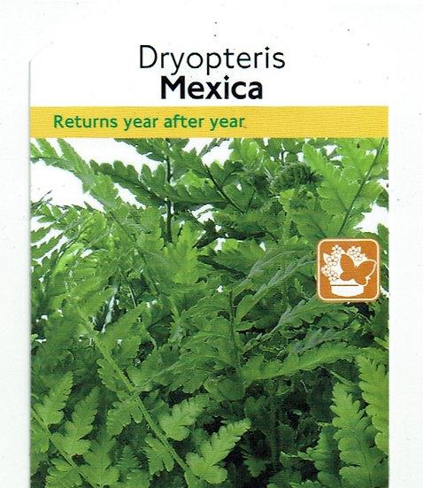 "Dryopteris ""Mexica"""