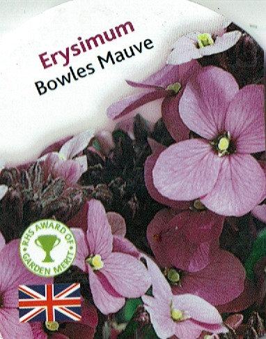 Erysimum - Bowles Mauve