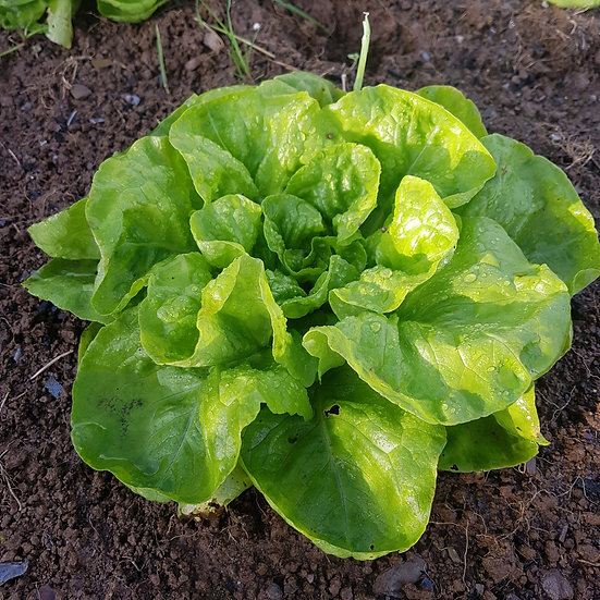 "Winter Lettuce ""Valdor"" (Organic) 6 Cell"