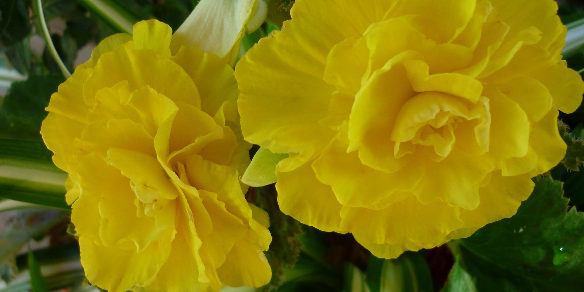 Begonia Varieties