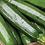 "Thumbnail: Courgette ""All Green Bush"""