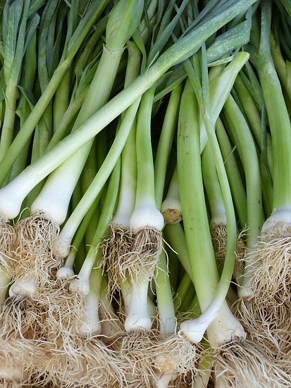 """Spring Onion """"White Lisbon"""""""