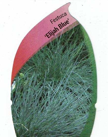 """Festuca """"Elijah Blue"""" Grass"""