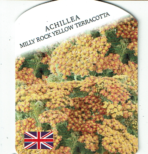 "Achillea ""Milly Rock Yellow Terracotta"""