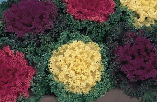 "Ornamental Kale ""Nagoya"" mixed 6 Cell Tray"