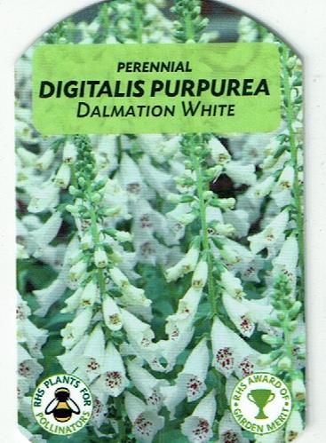 Digitalis - Dalmation White