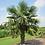 Thumbnail: Trachycarpus Fortunei - Chusan Palm