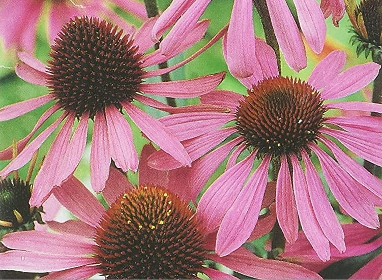 "Echinacea ""Large Flowered"""