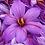 Thumbnail: Saffron Crocus - Crocus Sativus