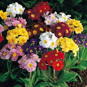 Polyanthus Crown Exhibition Strain Mix  6 Cell