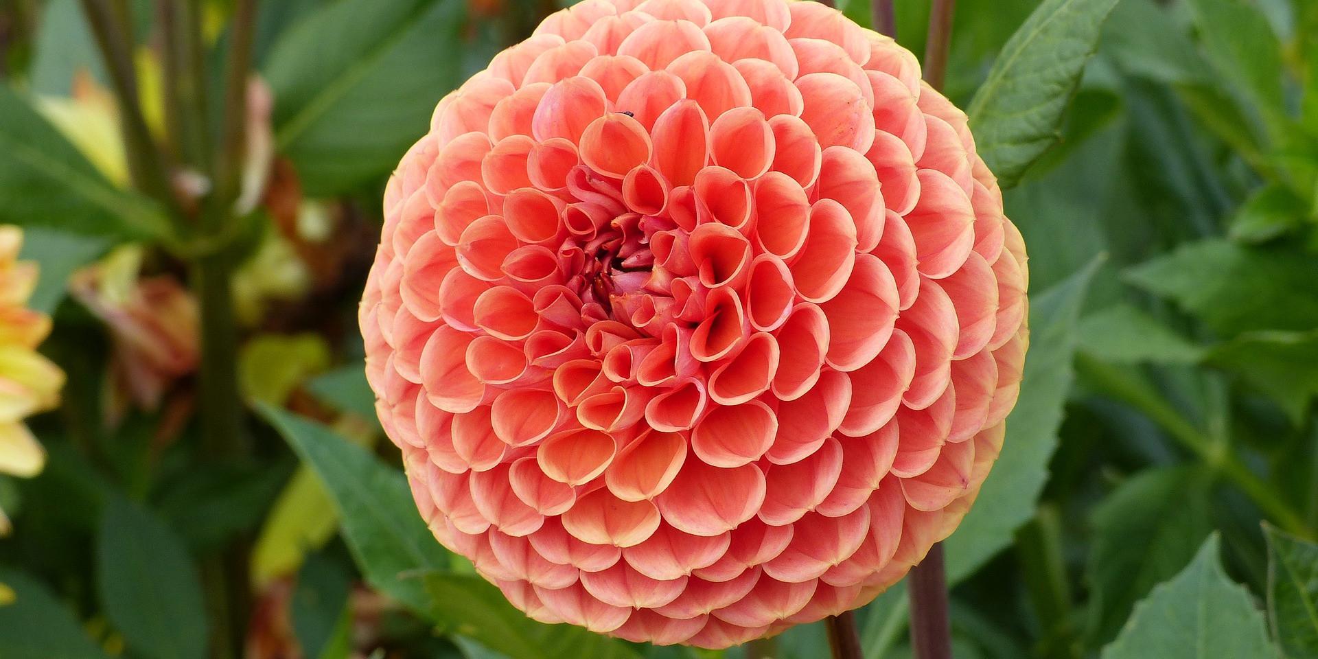 Dahlia Varieties