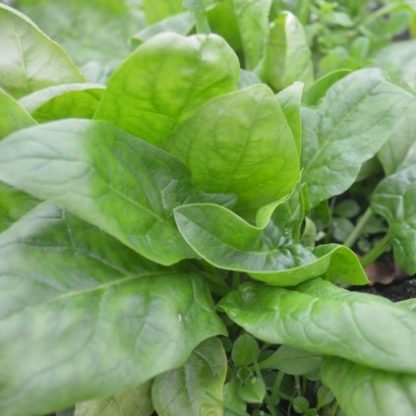 Spinach Winter Giant (Organic) 6 Cell