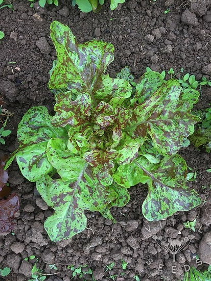 Lettuce – Flashy Lightning Butter-Oak