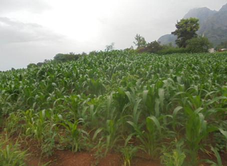 Fertilised Crops Look Promising