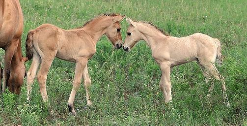 Sweet Kiger Foals