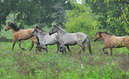 Kiger Horses