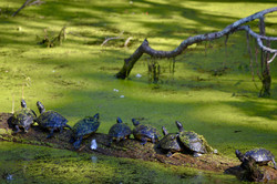 Green Scum and Turtles