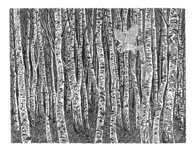 Birch Wood  白桦树林  115 x 150mm   £65 Edition size: 300  Engraving inspired by stands of birch trees, closely planted, highlighting the incredible markings on the bark, and with the fleeting presence of a barn owl hunting.  此画的灵感来自于茂密的白桦树林,突出了树皮上让人震撼的纹路,还有在树林里短暂停留的狩猎的谷仓猫头鹰。