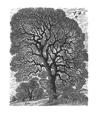 English Oak: Winter Tracery  英国橡树:冬日的树枝  125 x 100mm   £60 Edition size: 350  A mature oak tree in a landscape, showing the intricate structure of its branches.  风景中一棵老橡树,树枝结构精美复杂。