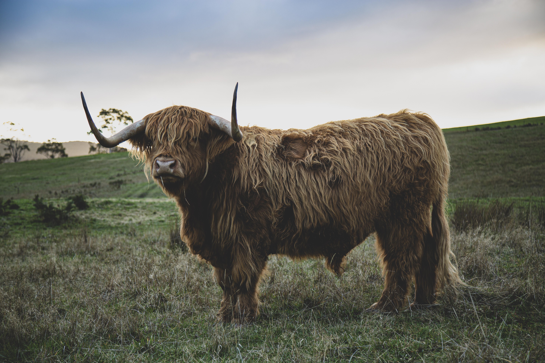 14 - Highland Cow 4