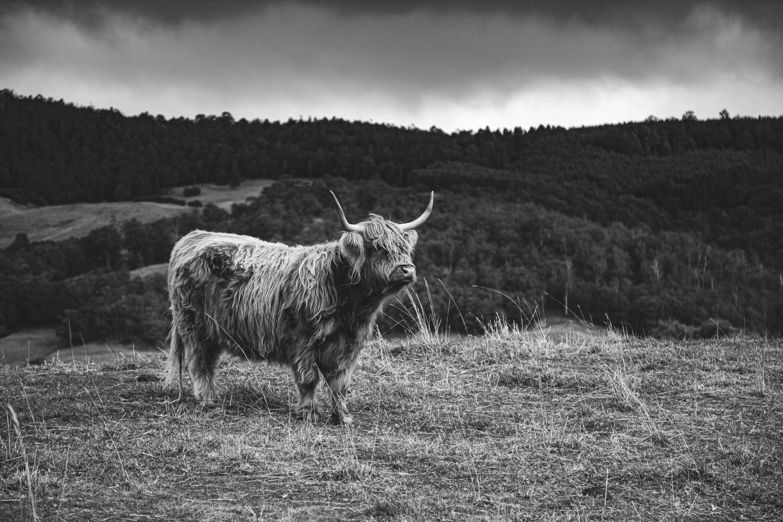 13 - Highland Cow 3 B&W