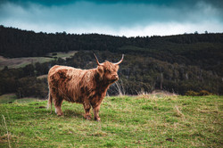 12 - Highland Cow 3