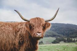 10 - Highland Cow 2