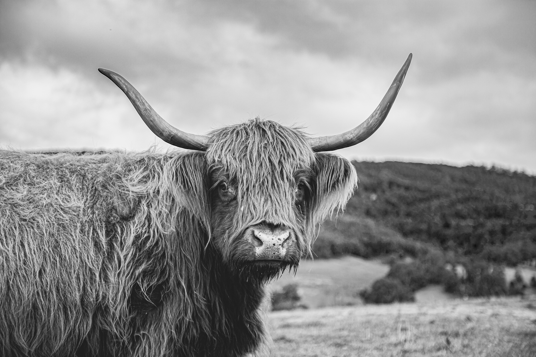 11 - Highland Cow 2 B&W